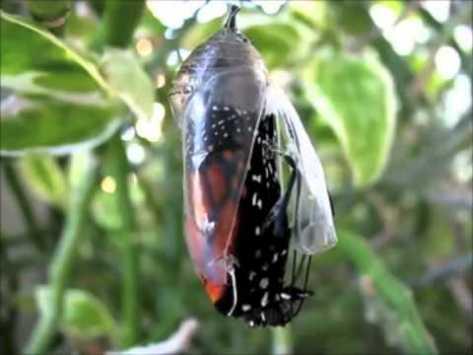 mariposa y crisalida